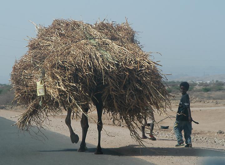 eritrea camel with load.jpg
