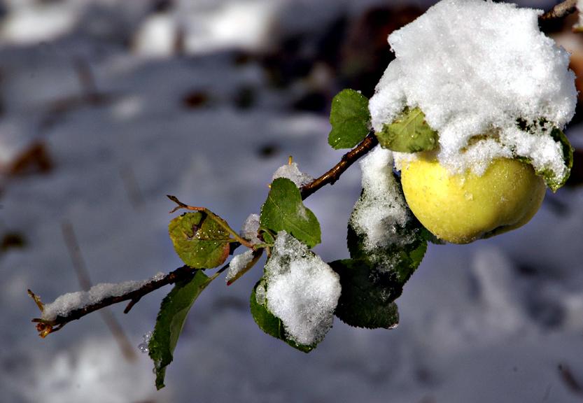yellow apple cropped.jpg