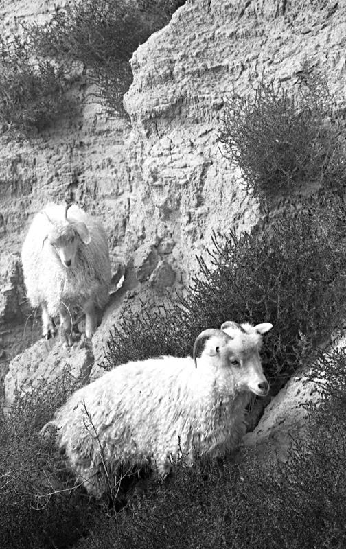 postcard navajo sheep.jpg