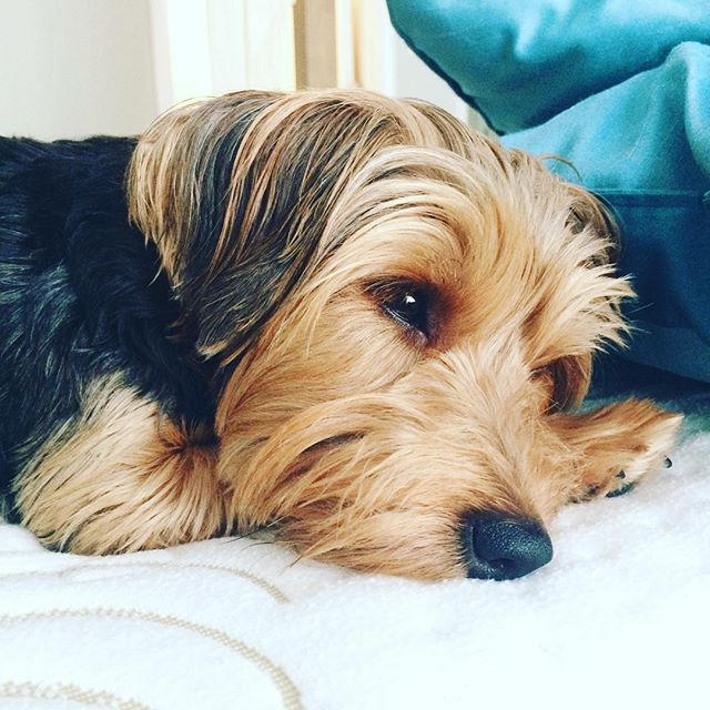 Don't be sad the weekend is almost here! #calm #dog #weekend #summer #adorable #yorkie #dogsofinstagram