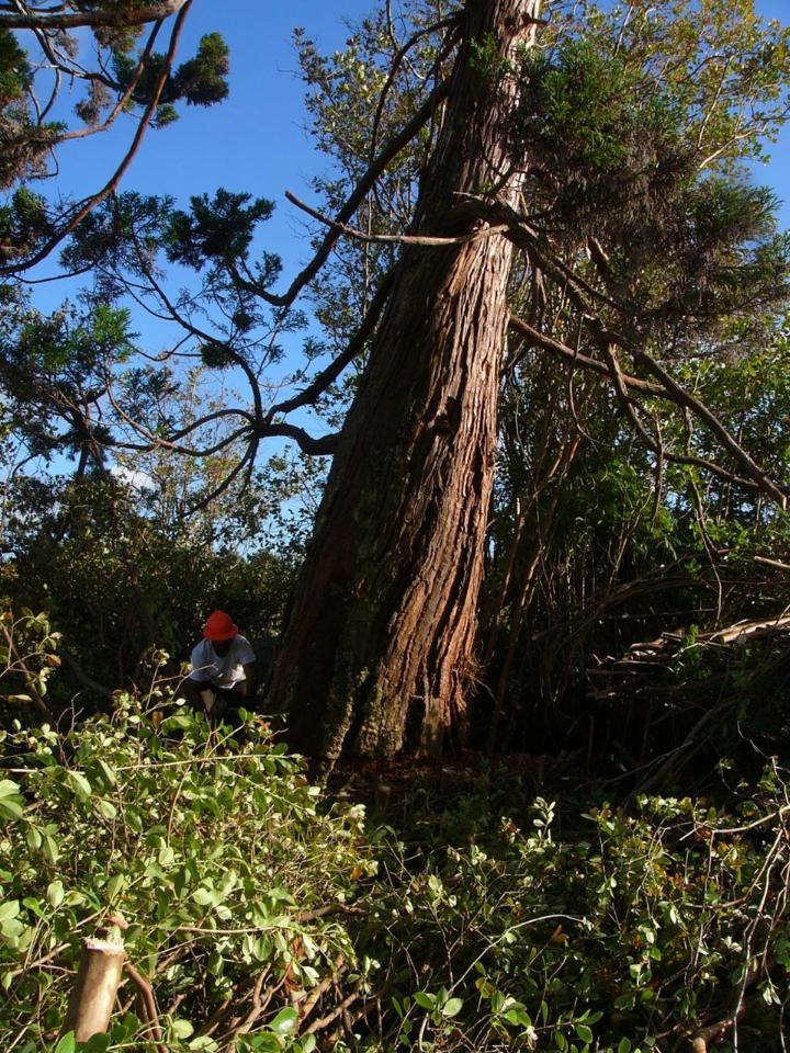 Sugi Pine Tree
