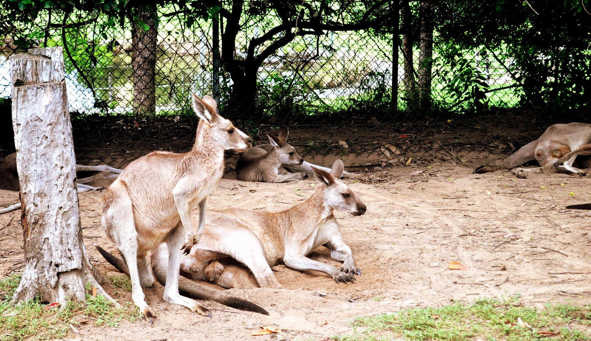 Kangaroos in Brisbane Zoo
