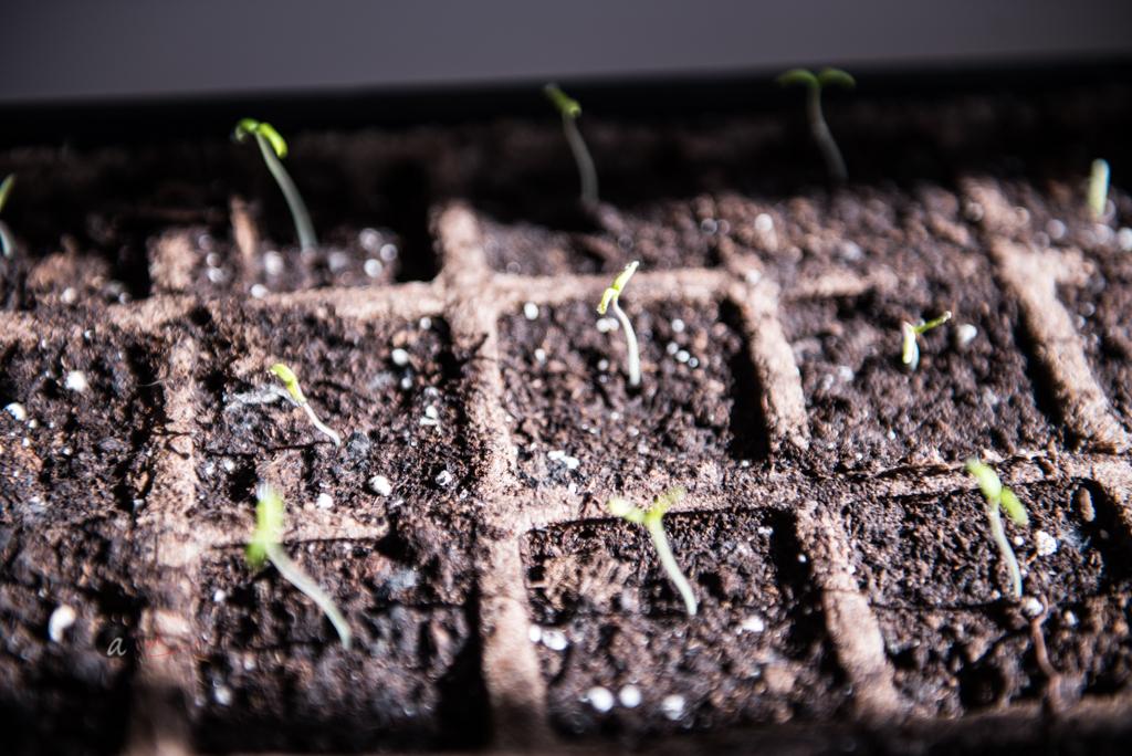 Tomato sprouts - delicate and crave sun