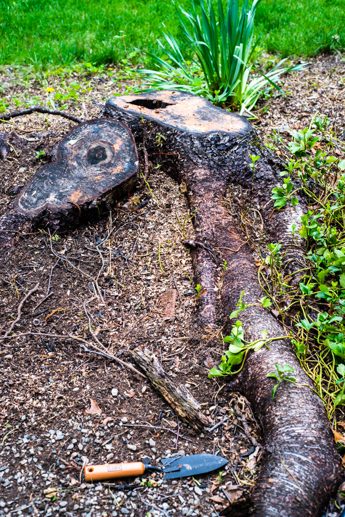 Designing Around Nature - This is the stump and root of a birch tree we cut down late last year. I love the shape and patina on it and plan to make it the design focus for this patch. This area is earmarked for flowers and herbs, some perennials like peonies and roses and some annuals, like dahlias, marigolds etc.