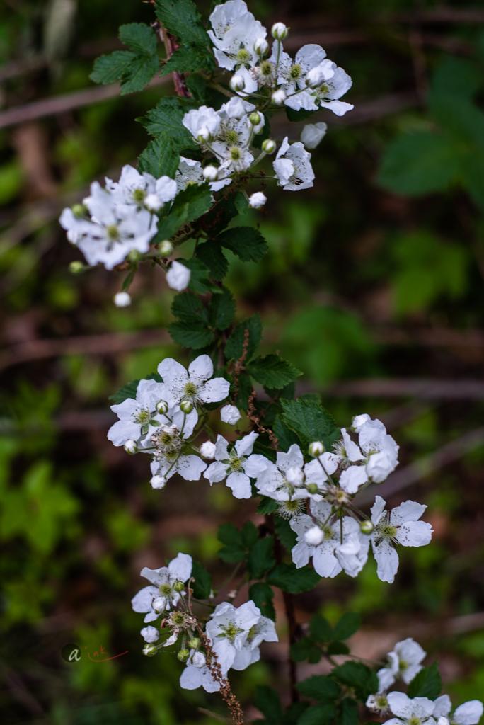 Flowering WildBlackberry Bush -