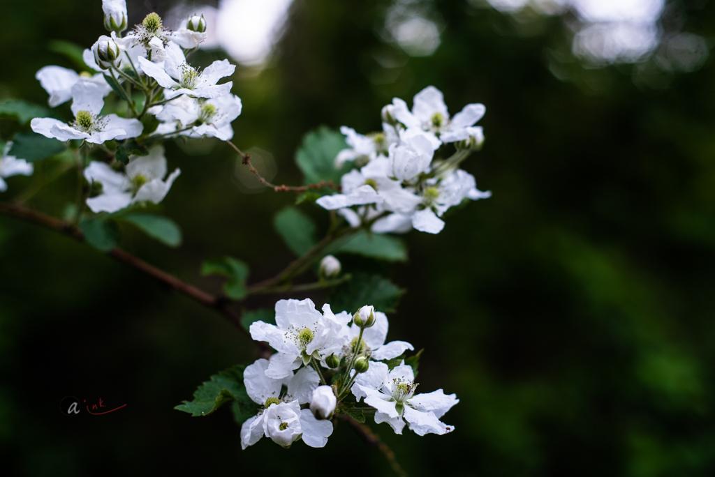 wild-blackberry-flowers1.jpg