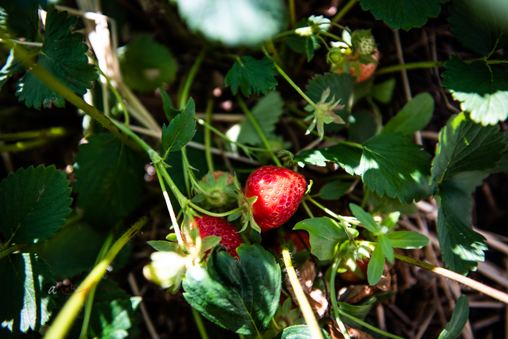 strawberry-on-vine.jpg