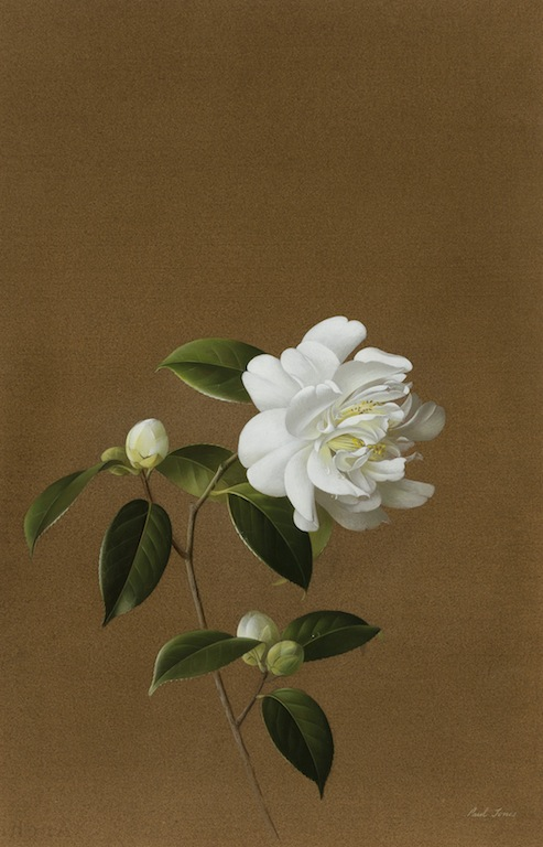 Paul Jone Snow Peony gouache on paper