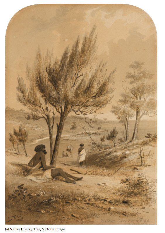 Samuel Thomas Gill drawing Native Cherry Tree Australia art