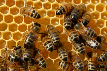 Hexagonal honeycomb and the magnificent bees that make it.