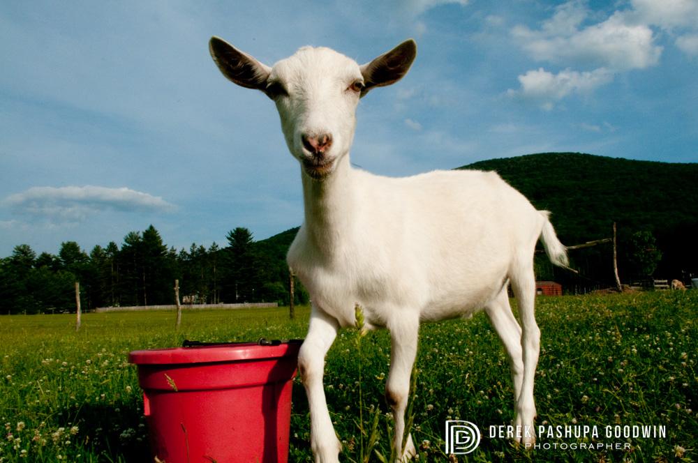A goat at Woodstock Farm Animal Sanctuary