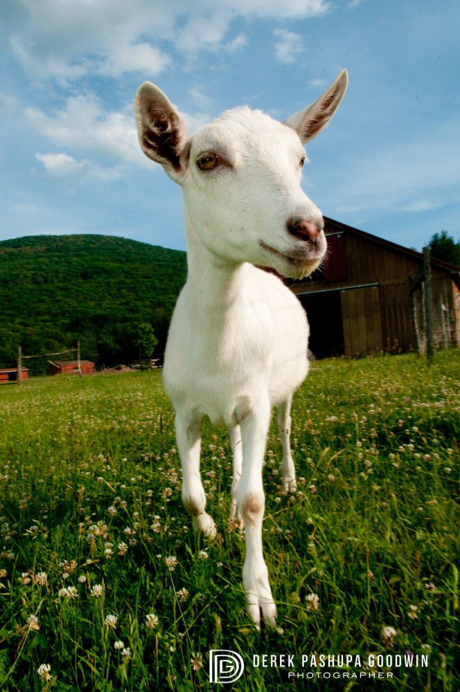Emmet the goat in a field of clover at Woodstock Sanctuary