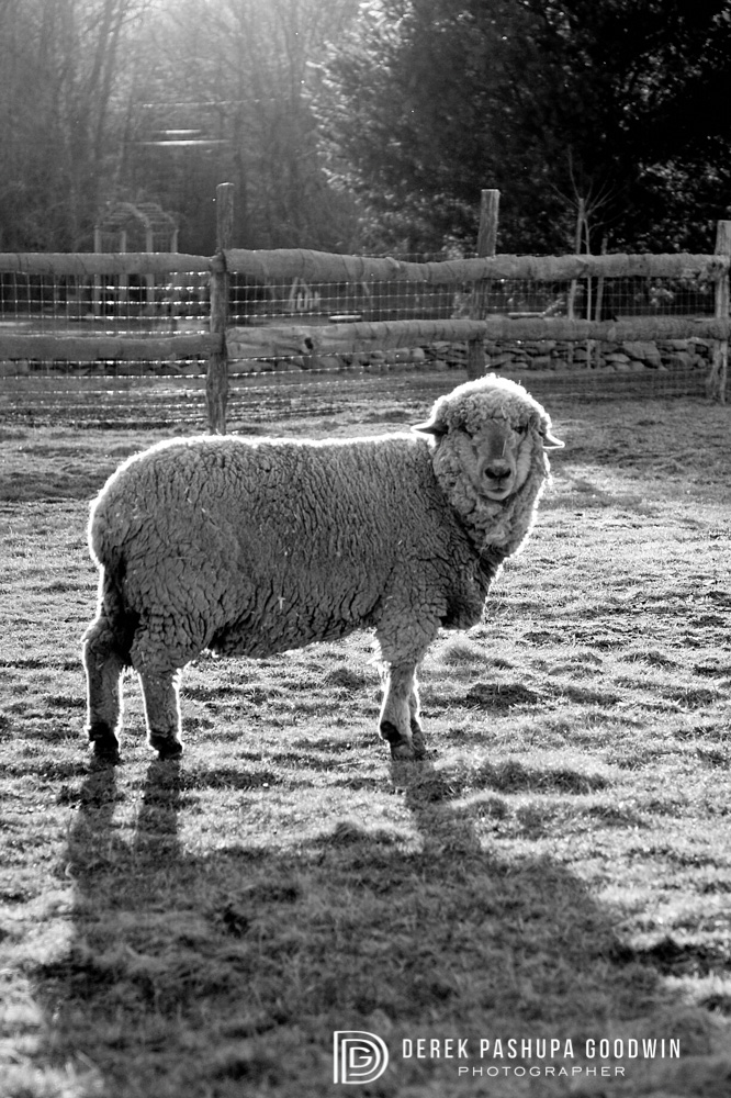 Sheep at Woodstock Sanctuary