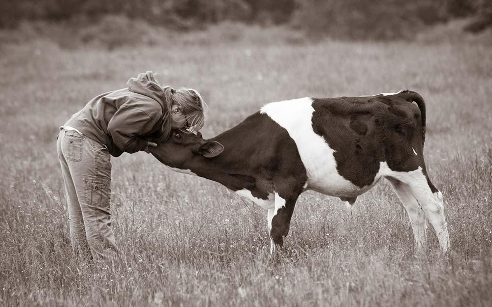 Susie Coston, animal caretaker at Farm Sanctuary in Watkins Glen, with Michael the cow