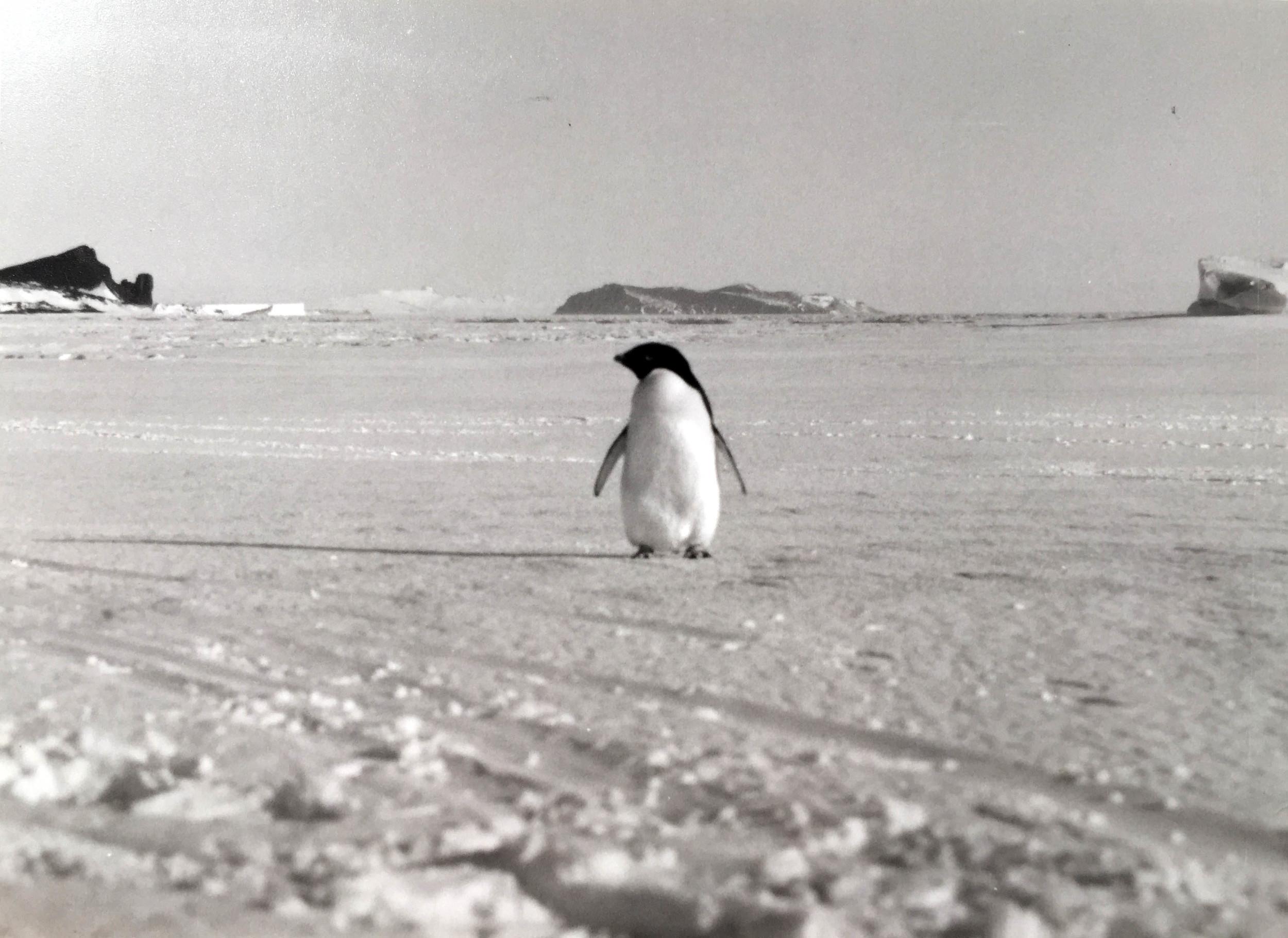 adelie antarctic.jpg