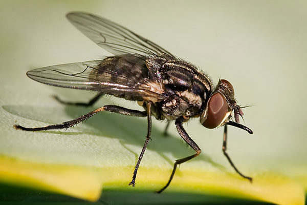 stable-flies-mosi-guard-insect-repellent
