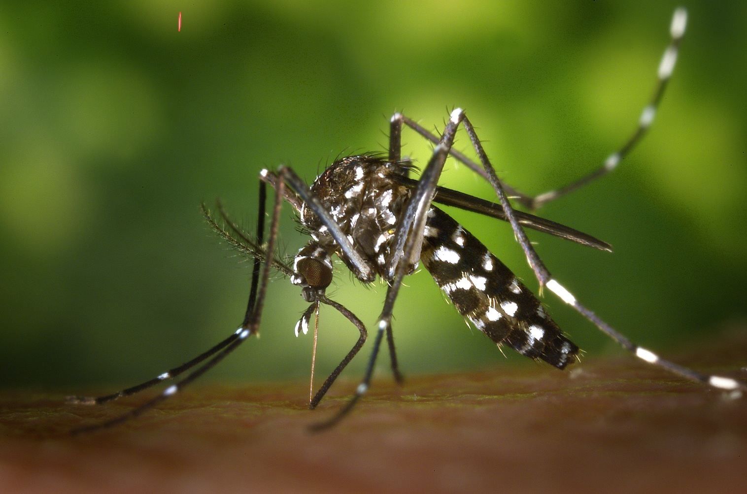 The aedes aegypti mosquito - source Mosi-guard