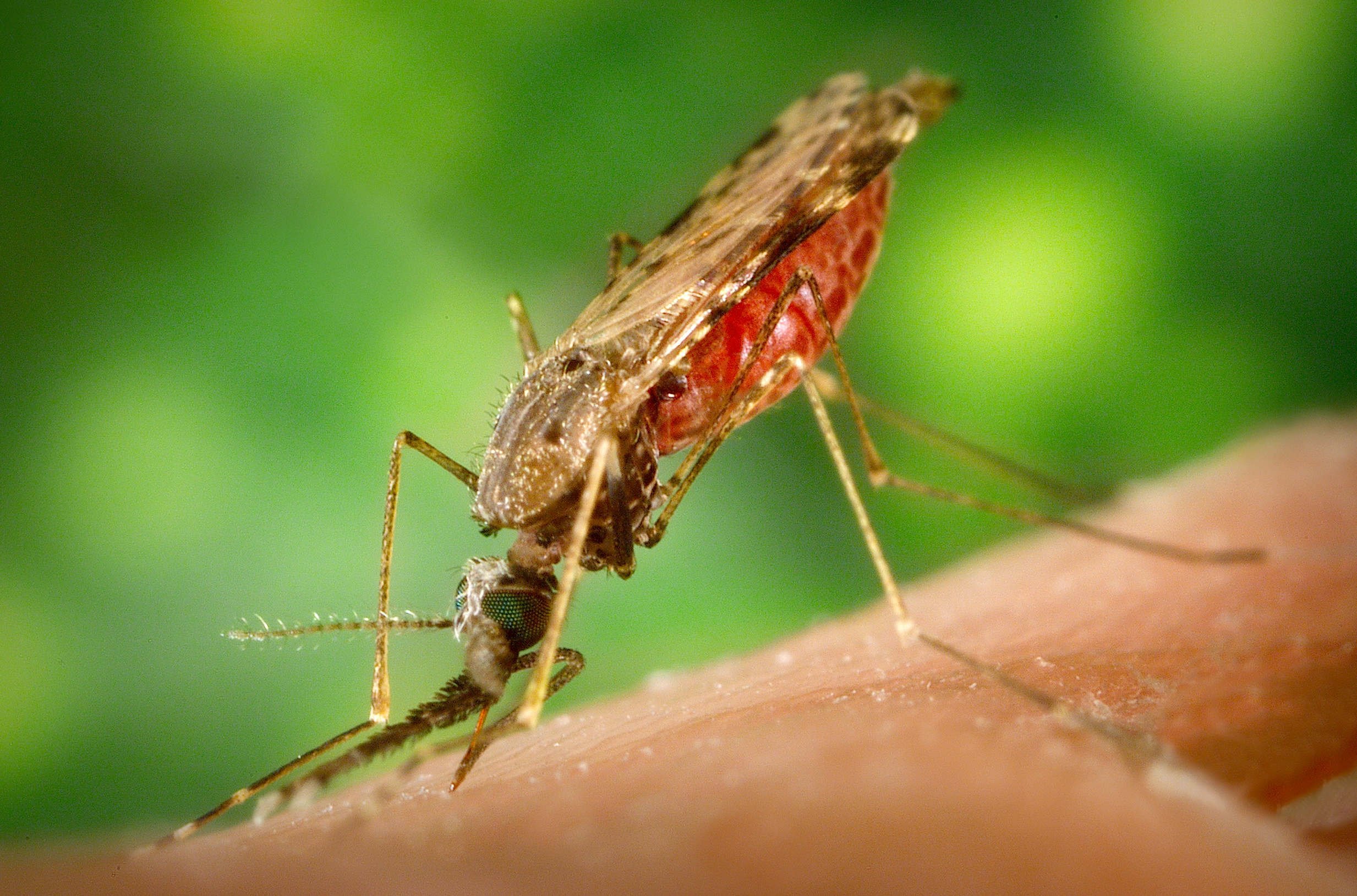 The anopheles mosquito. Image source: Wikipedia