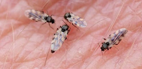 Midge bites — how to recognise midges, treat bites and avoid