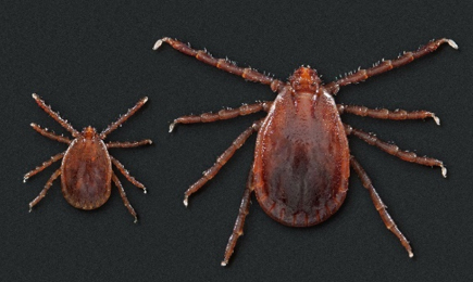 A nymph and adult female longhorn tick. Source: CDC