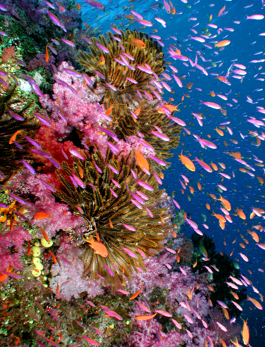 Vibrant coral in Fiji's Rainbow Reef