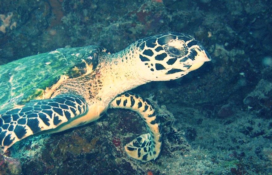 Turtles on the Rainbow Reef, Fiji Islands