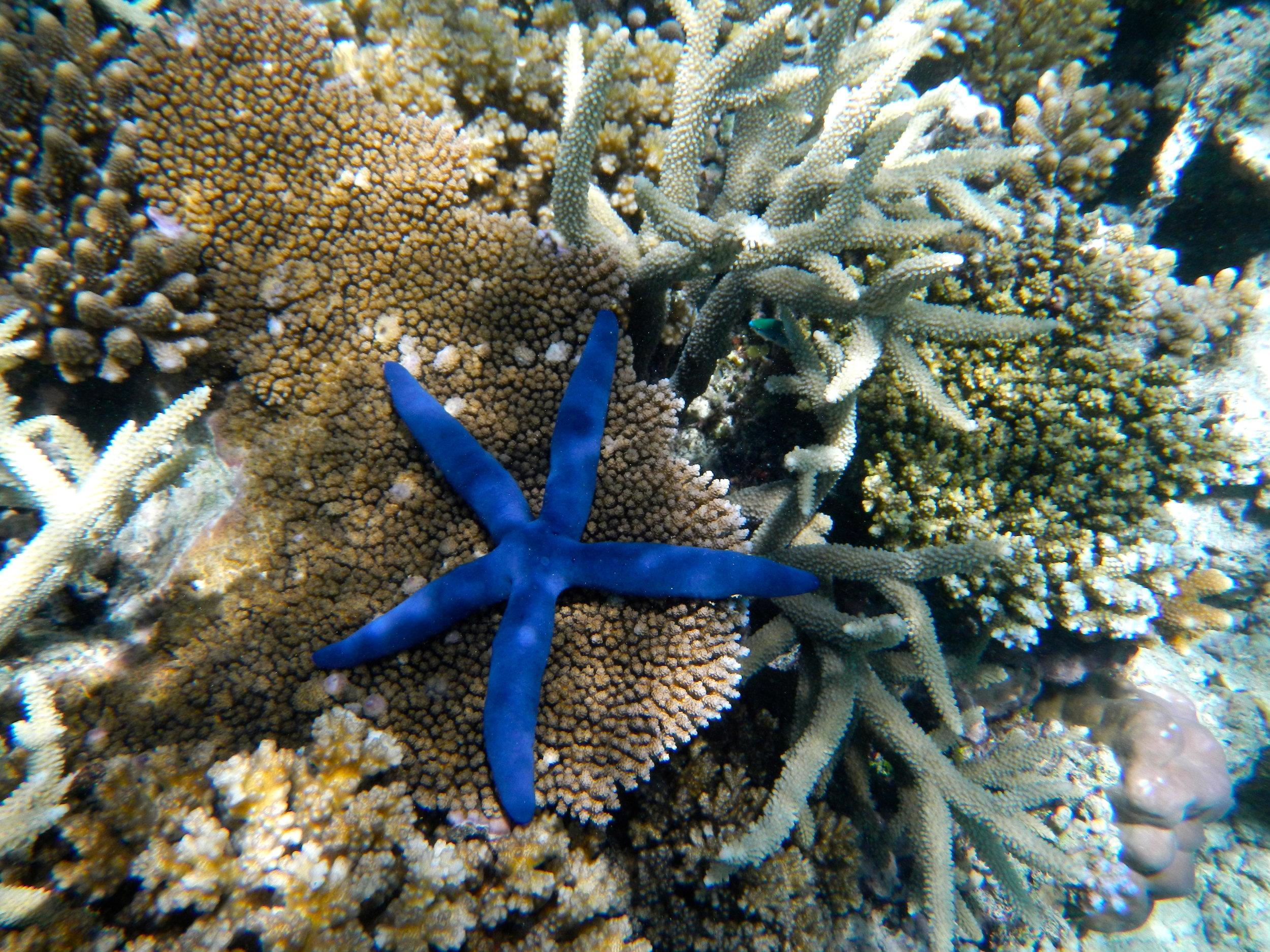 Rainbow Reef Fiji Starfish Snorkel.JPG