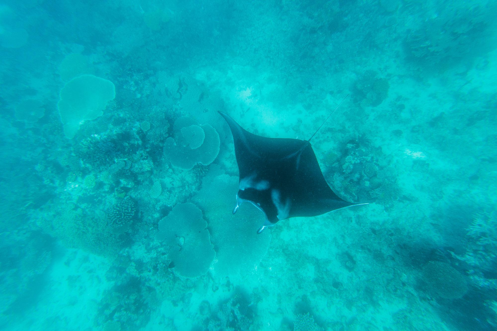 Fiji Manta Ray Snorkel - The Remote Resort, Fiji Islands
