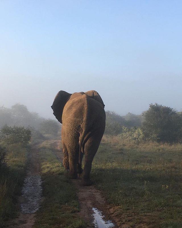 The long road home #leeuenbosch #easterncape #southafrica #amakhala #conservation #elephant #tusk #ndlovu