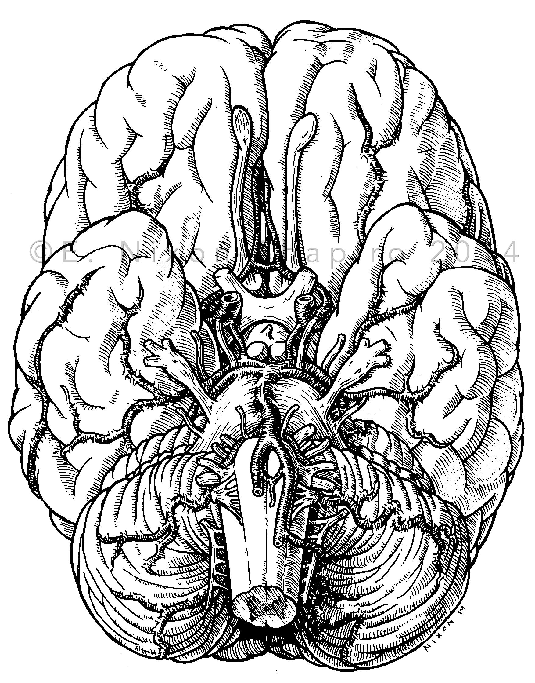 Ventral Aspect of the Brain