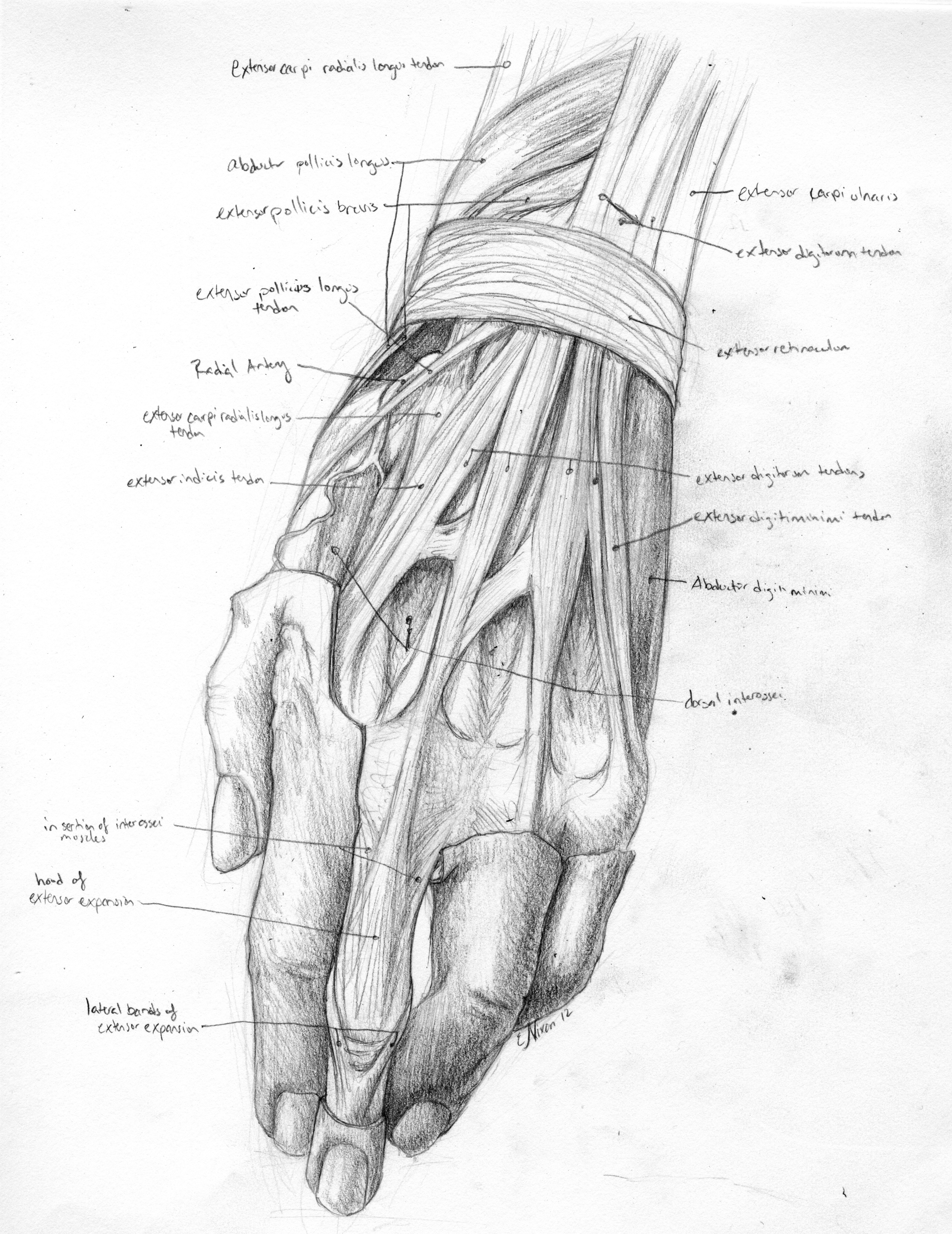 Dorsal Hand Dissection
