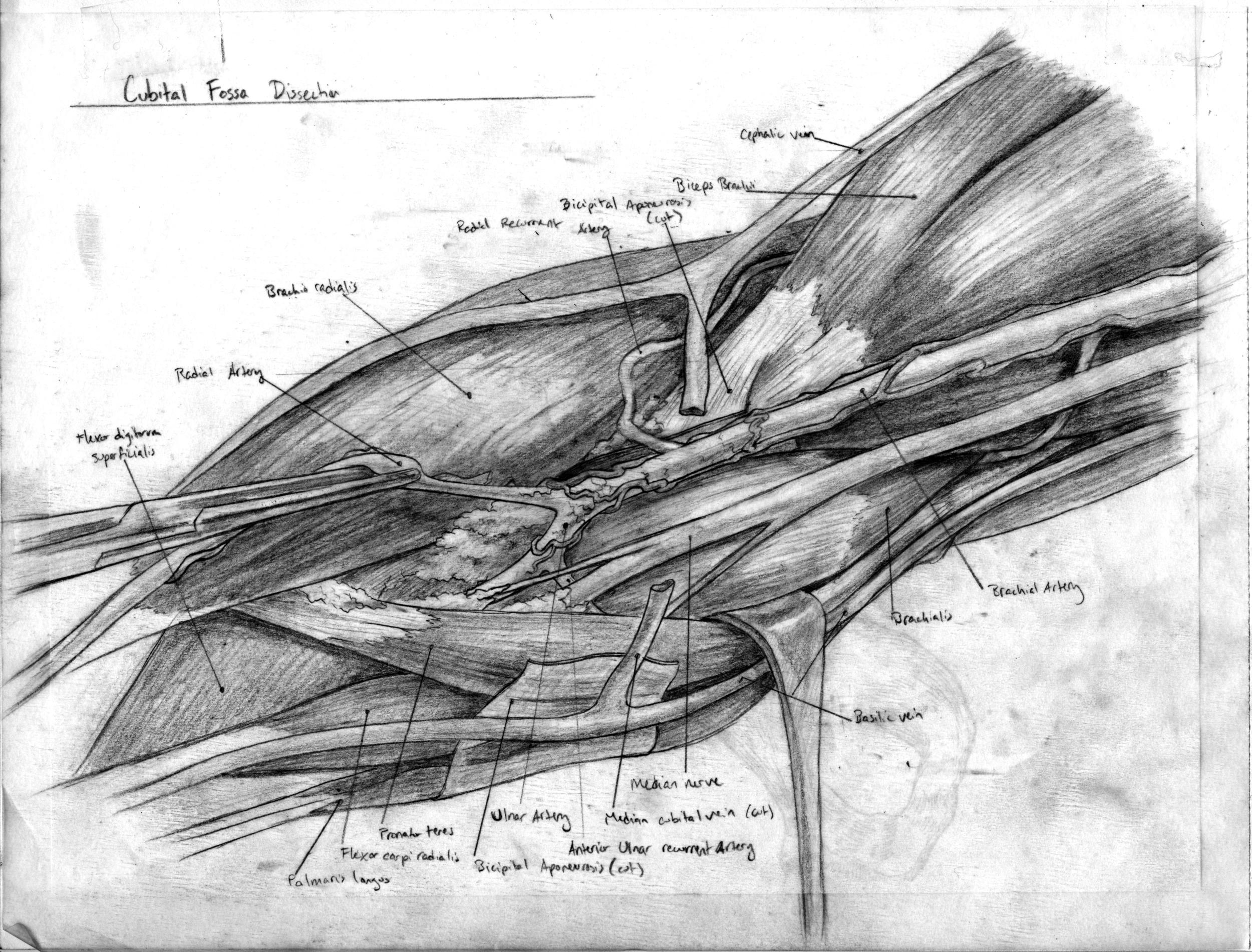 Cubital Fossa Dissection