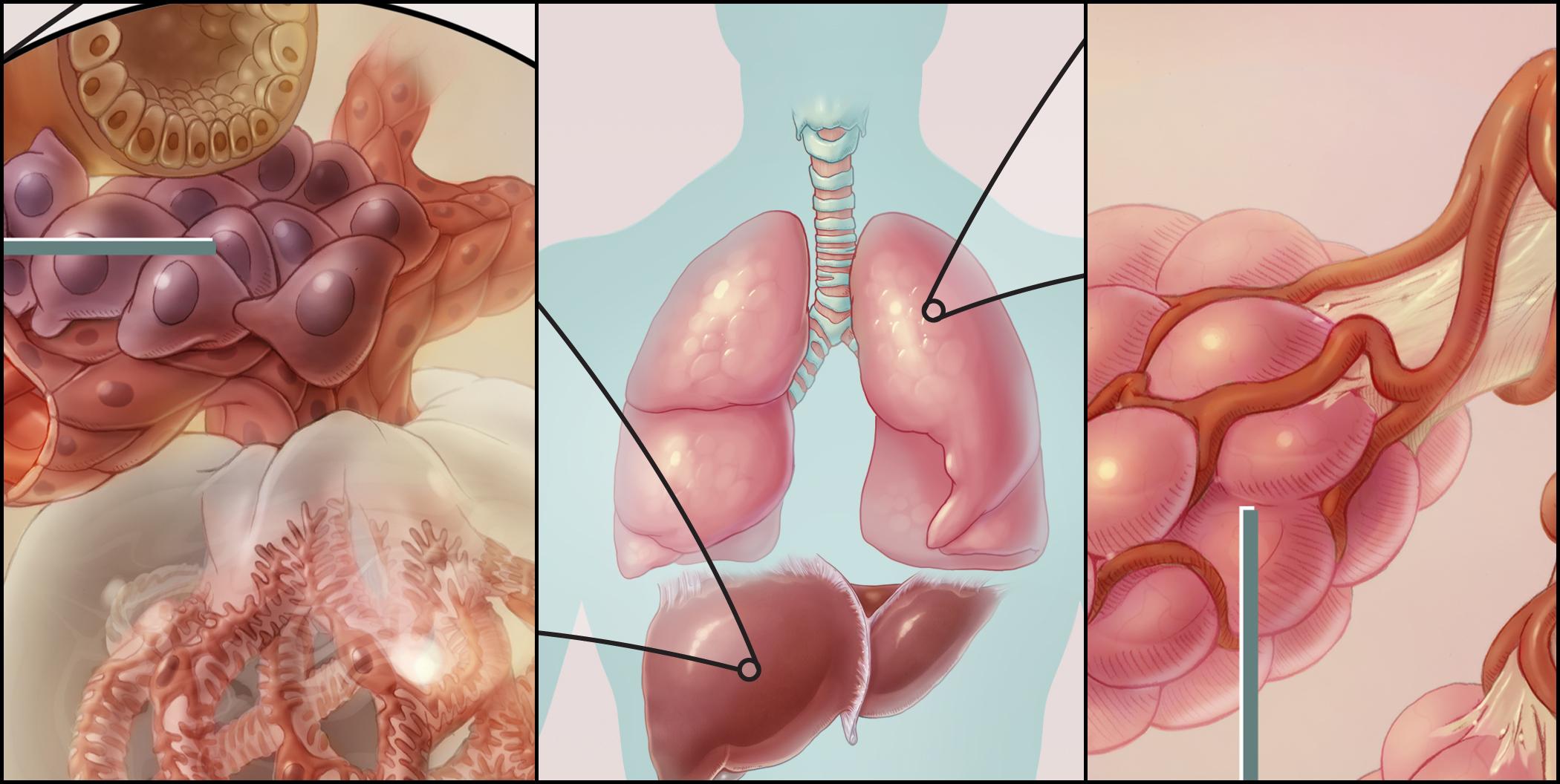 The Renin-Angiotensin System (detail)