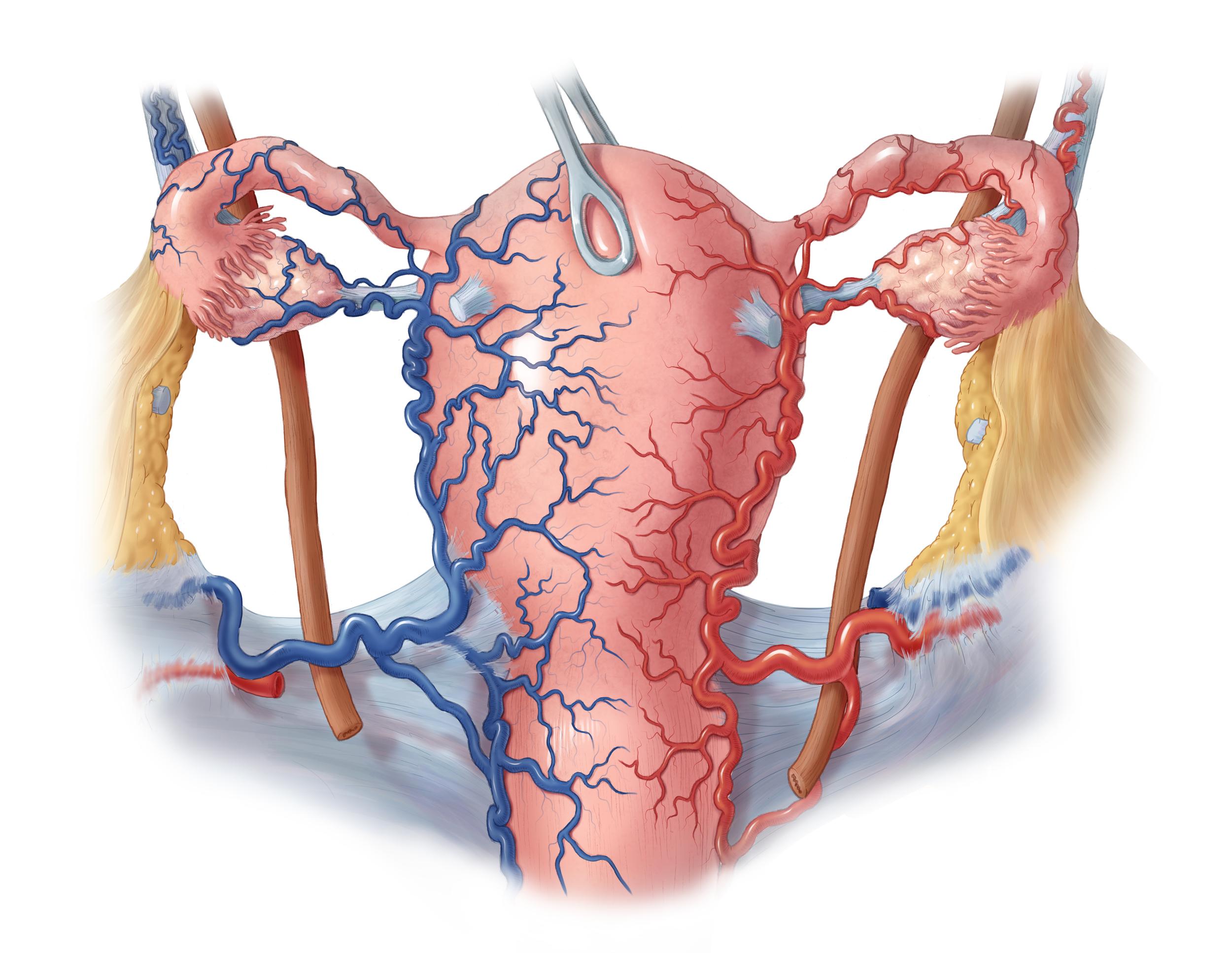 Vasculature of the Uterus and Adnexa