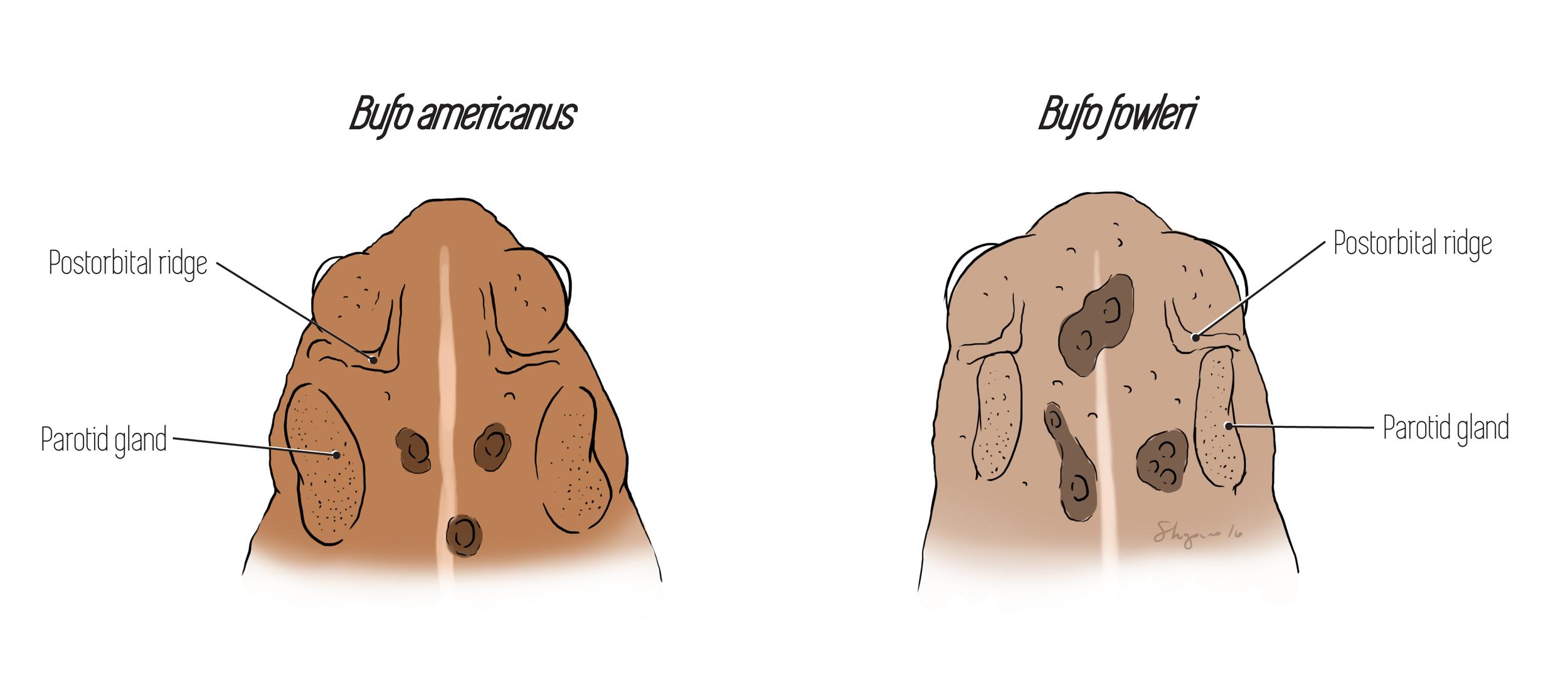 Bufo postorbital ridges