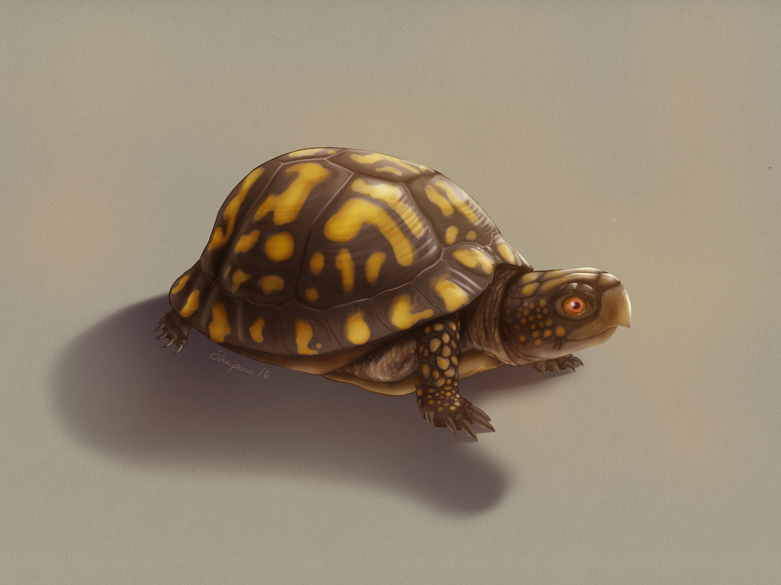 Box turtle, Terrapene carolina