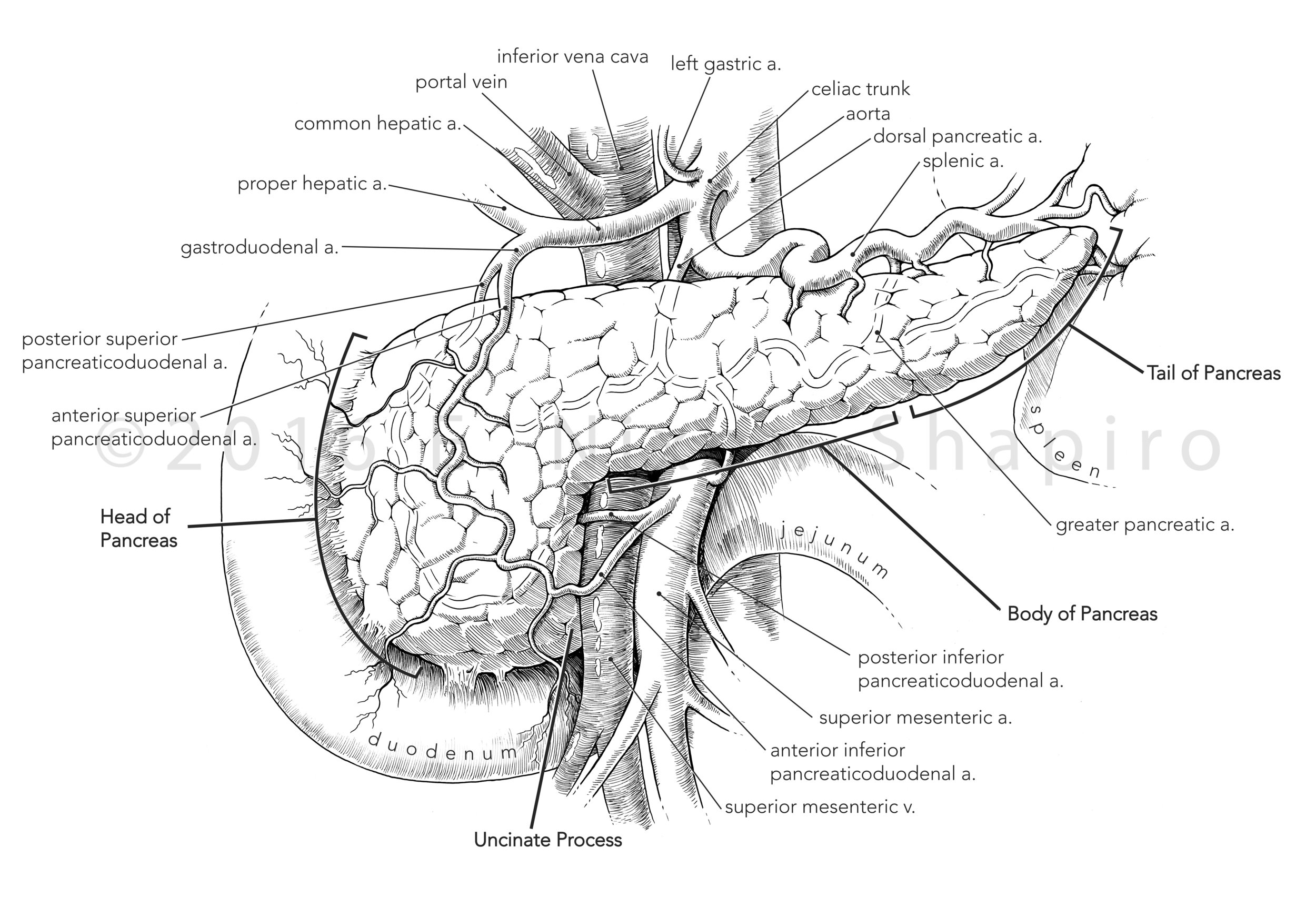 The Anatomy of the Pancreas