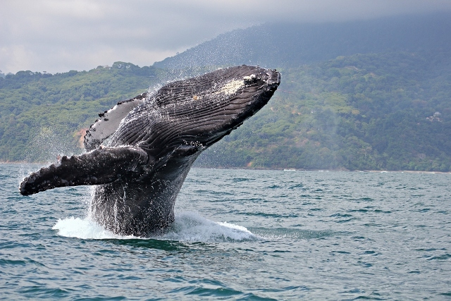 Humpback whales.jpg