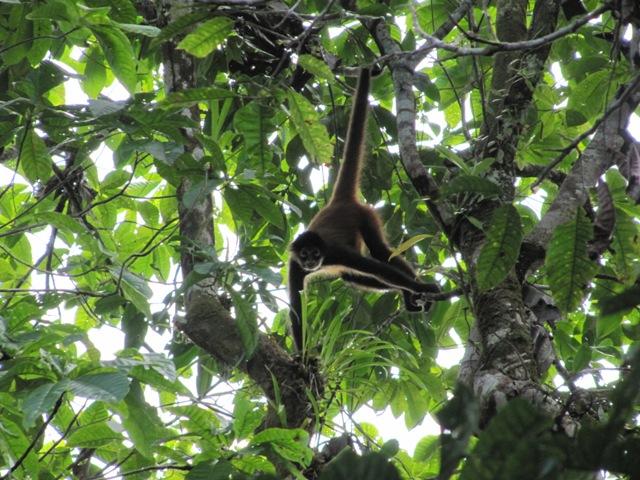 Monkeys in the rainforest.JPG