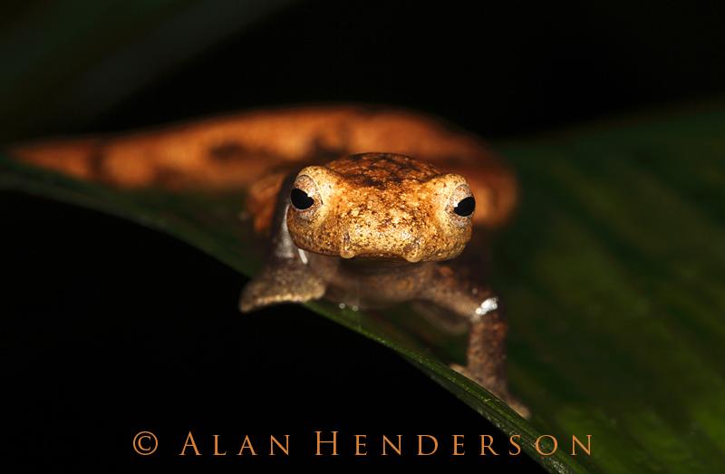 Bark-coloured Salamander - Bolitoglossa lignicolor 2.jpg