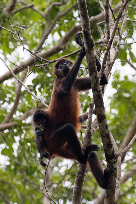 Geoffroy's spider monkey.jpg