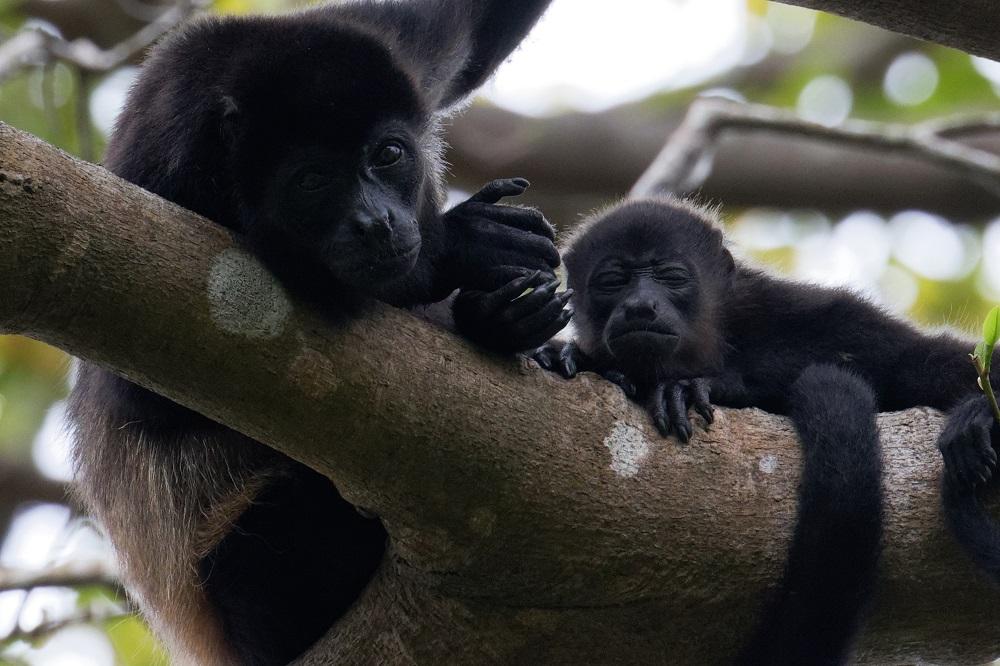 Howler monkey.jpg