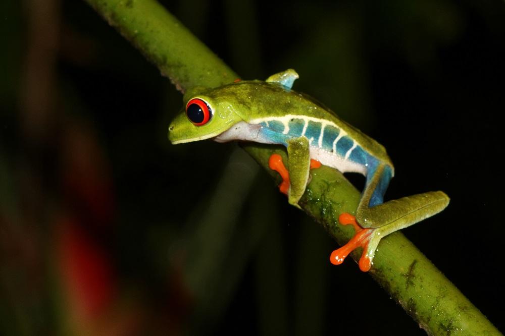 Red eye tree frog.jpg