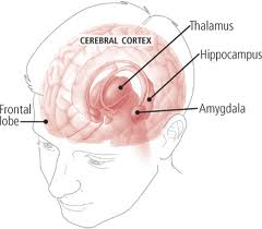 The Amygdala is responsible for holding emotions  The Hippocampus creates memories.