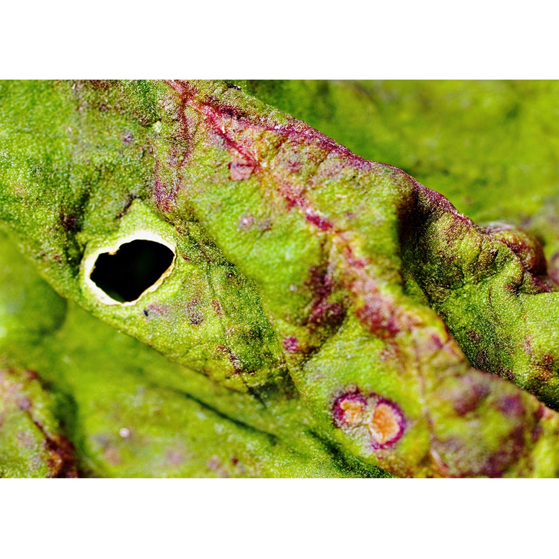 eyes - rhubarb #174
