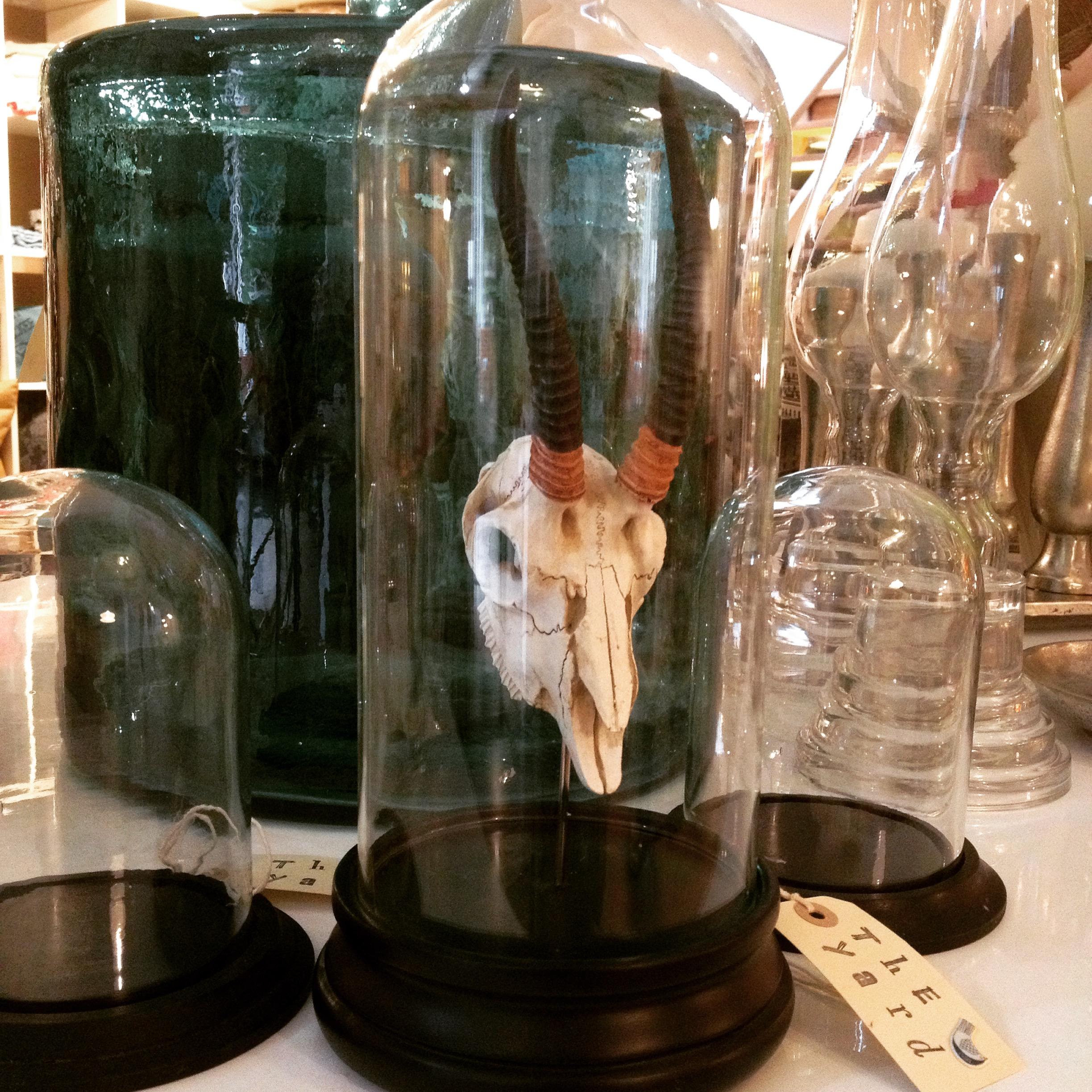 Antelope skull in glass dome