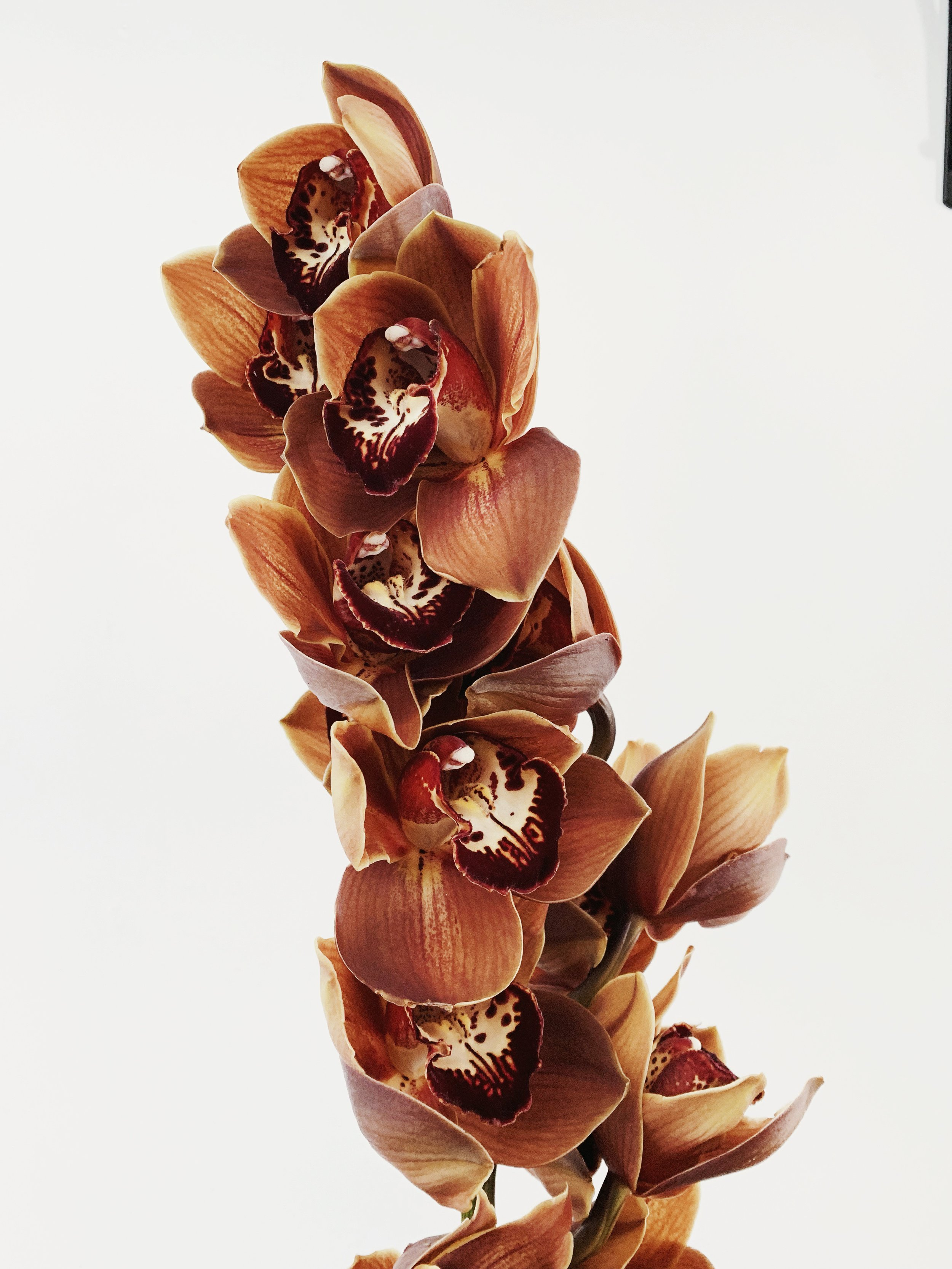 brown cymbidium orchid