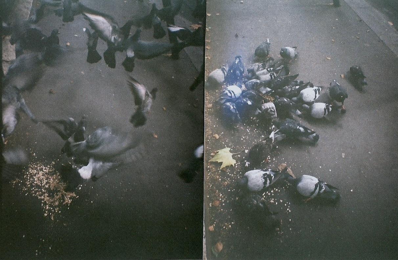 pigeons 2010