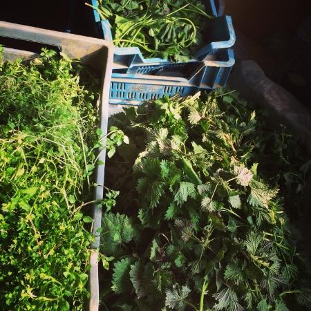 Crates of beautiful herbs collected at Ashurst Organics
