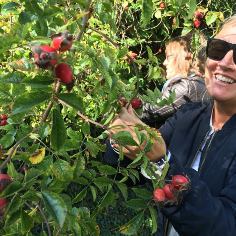 Julie and Nicky picking Rosehips to make oil which goes into our Facial Serum #3